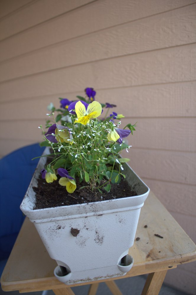 There are pansies and some kind of little white flowers in this pot.