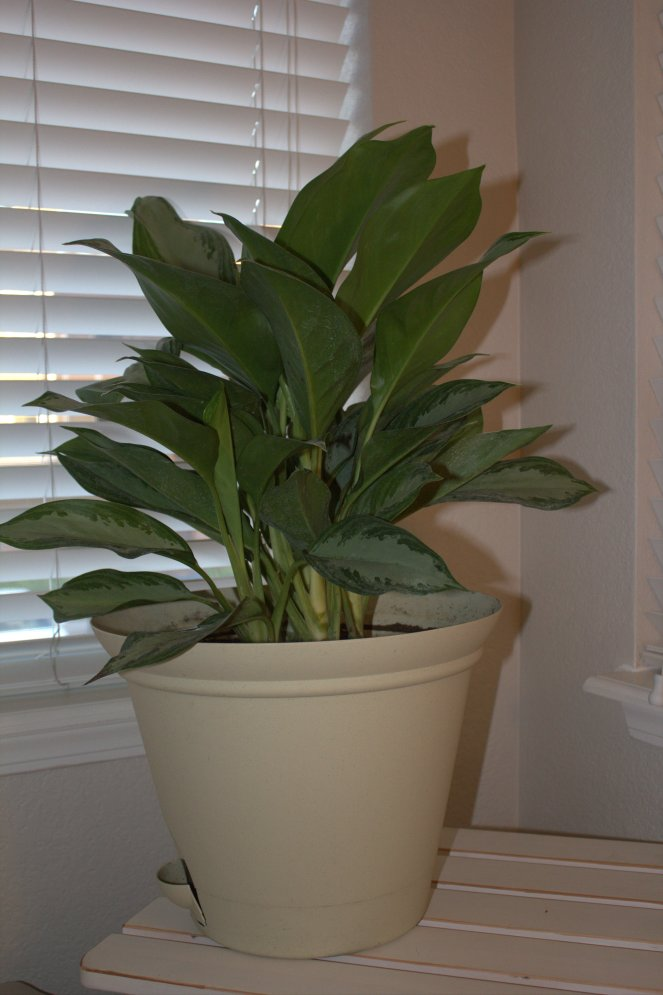This plant is supposed to help filter the air.